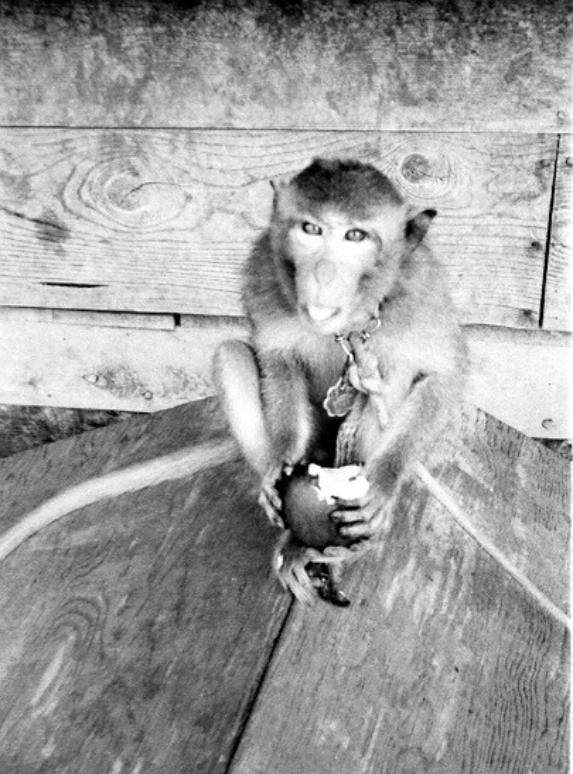 George - The Pet Monkey