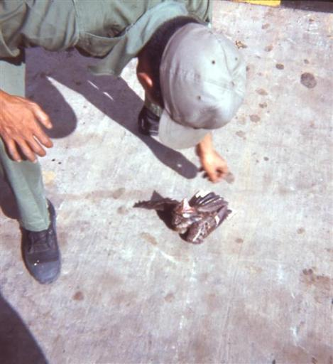 ARVN Looking At Hawk With Cut Wing